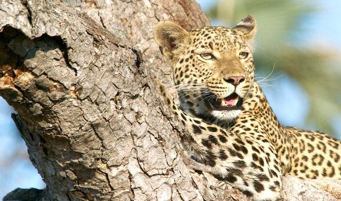 アフリカの豹