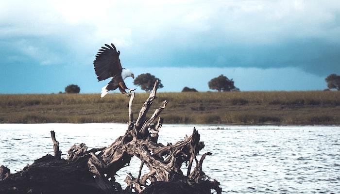 アフリカの鷲