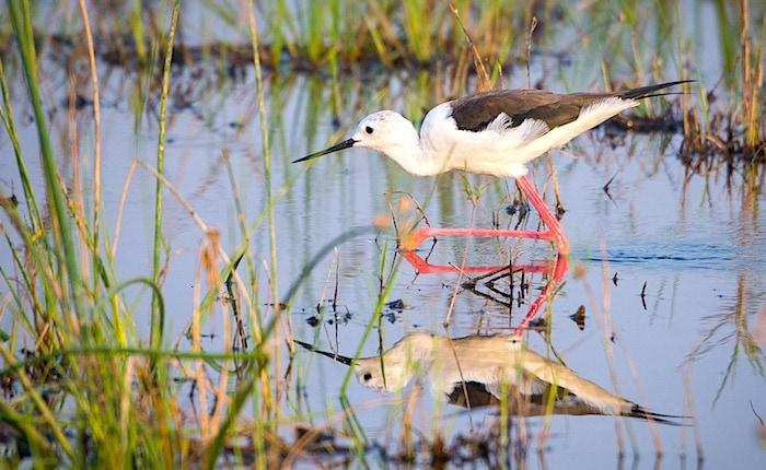 オカバンゴ湿地帯で水面を歩く鳥