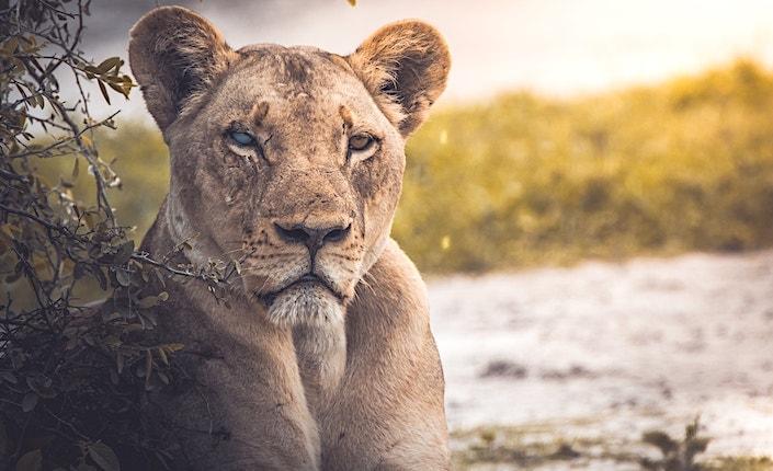 ボツワナで見た雌ライオン