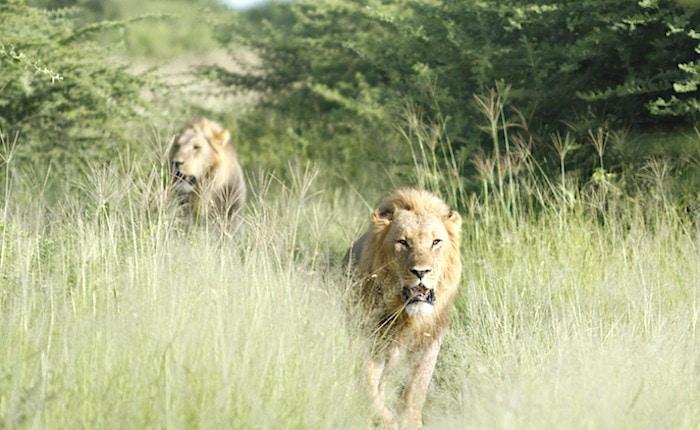 2匹の雄ライオン