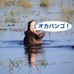 オカバンゴデルタに、カバが跳ぶっ!衝撃のサファリ旅行記3-4日め【ボツワナ】