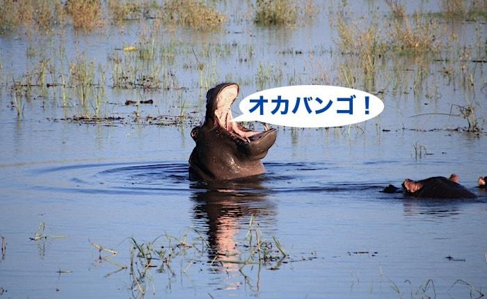 オカバンゴ湿地帯のカバ