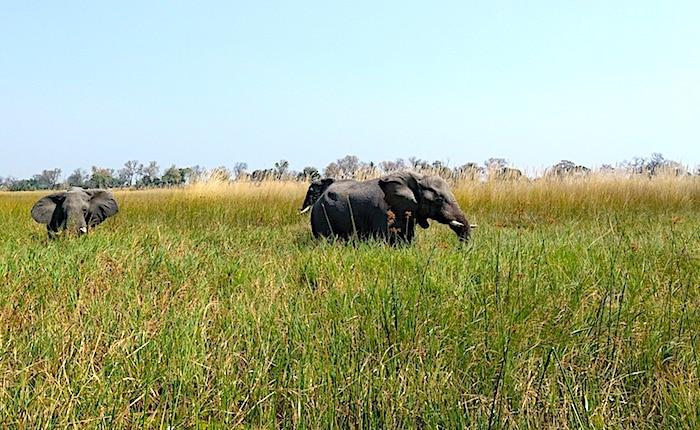 オカバンゴ湿原の象たち